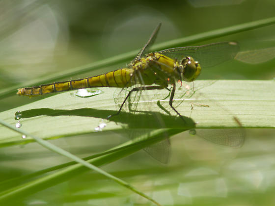 Unknown Dragonfly - Erythemis collocata