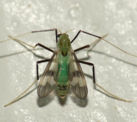 Midge - Stenochironomus hilaris - female