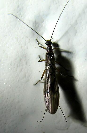 Winter Stonefly? - female