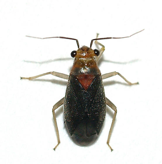 Agave bug , another Caulotops sp.? - Agaveocoris barberi