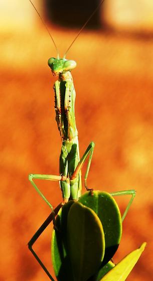 Mantodea - Iris oratoria