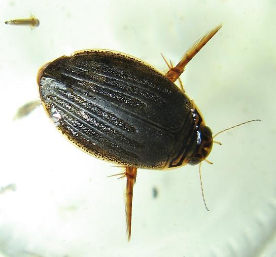Predacious Diving Beetle - Acilius sylvanus - female