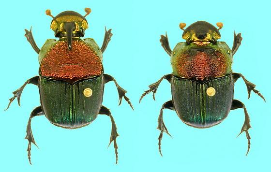 Phanaeus vindex pair - Phanaeus vindex - male - female