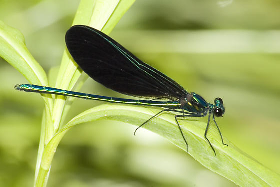 Male Ebony Jewelwing - Calopteryx maculata - male