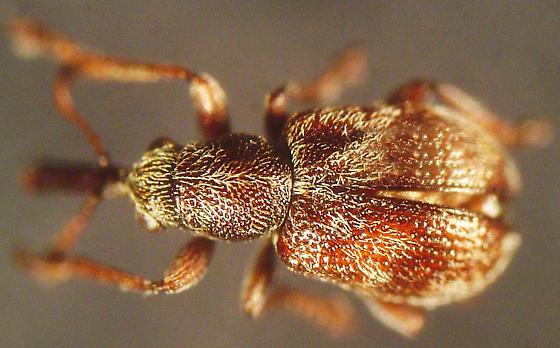 Auletobius cassandrae (LeConte) - Auletobius cassandrae