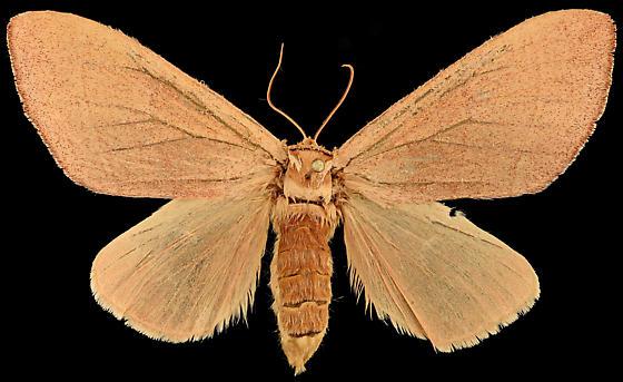 Moth, dorsal - Datana perfusa