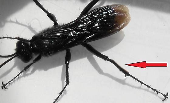 Thread-waisted Wasp Segmented (golden edge) - Prionyx - male