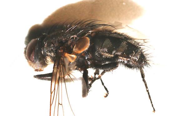 Billaea species? - Pollenia vagabunda - male