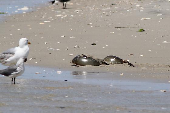 Atlantic Horseshoe Crabs - Limulus polyphemus - male - female