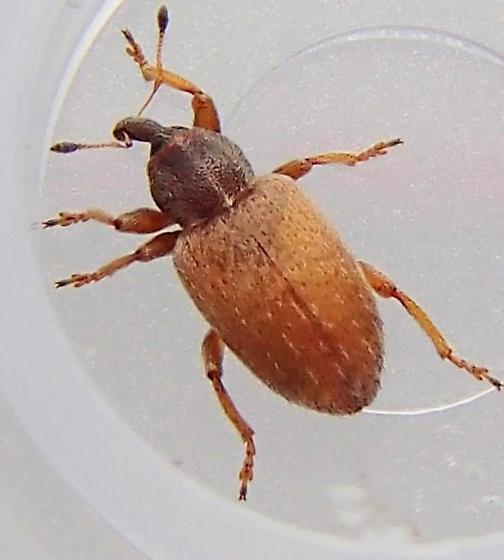 Weevil - Hypera nigrirostris