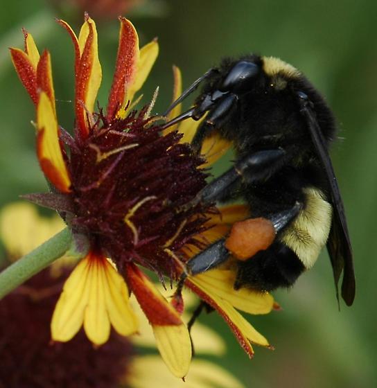 Bumble bee? on Indian blanket flower - Bombus pensylvanicus - female