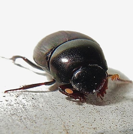 A beetle ... ID, please. - Pseudocanthon perplexus