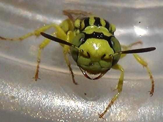 The Six Wasp Special - #4 of 6 - Philanthus multimaculatus - male
