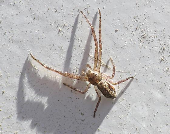 Crab Spider - Tmarus angulatus