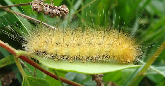 Virginian Tiger Moth caterpillar - Spilosoma virginica ...