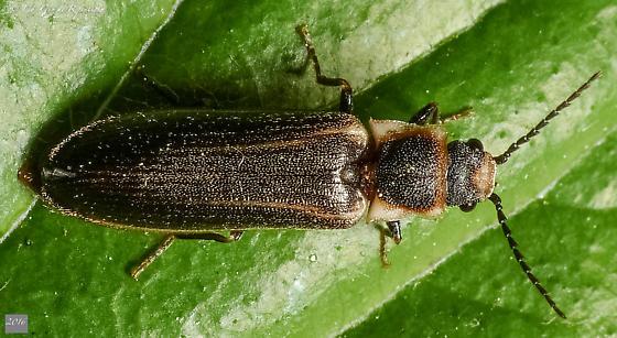 Coleoptera. Lampyridae? Cantharidae? - Denticollis denticornis