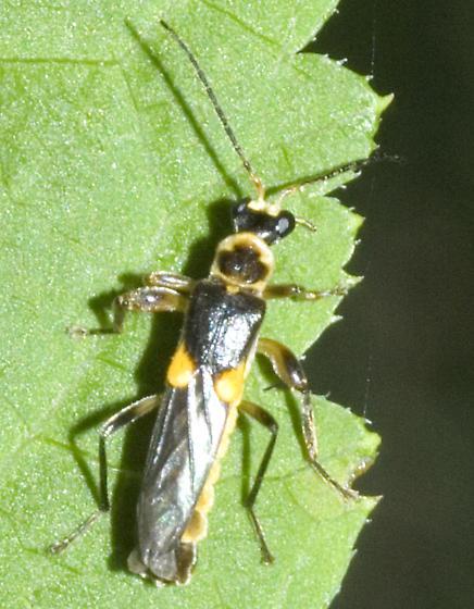 Belotus? - Trypherus latipennis