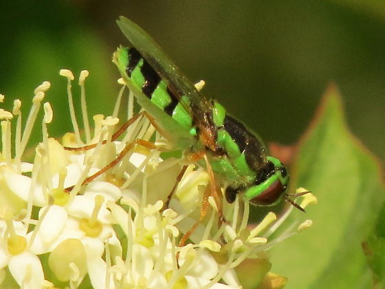 Odontomyia cincta ? - Odontomyia cincta - female