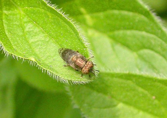 Orthonevra sp - Orthonevra nitida - male