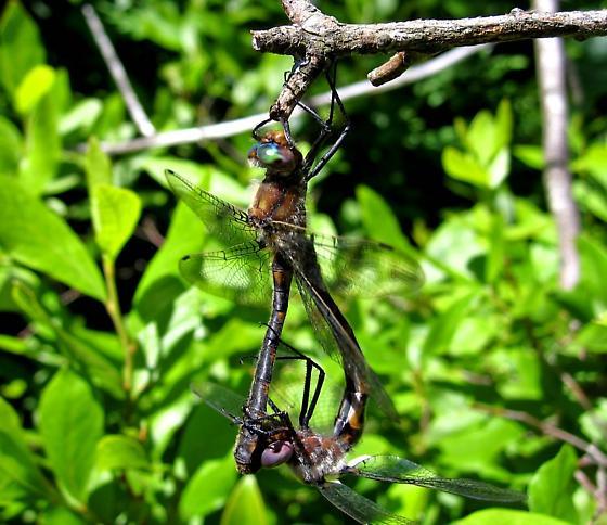 Mating Dragonflies - Helocordulia uhleri - male - female