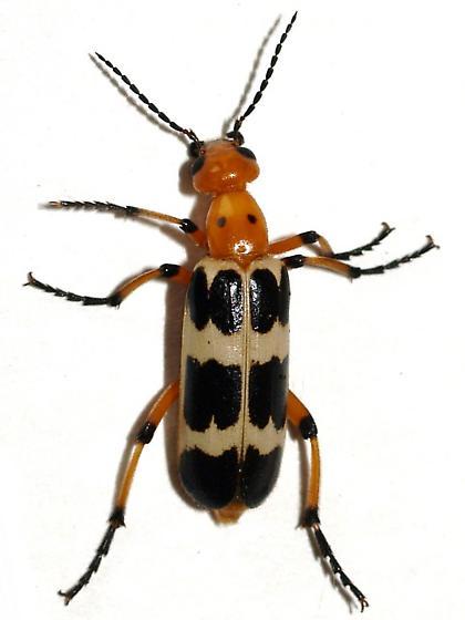 Blister beetle - Pyrota palpalis