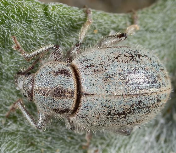 Trigonoscuta sp. - Trigonoscuta