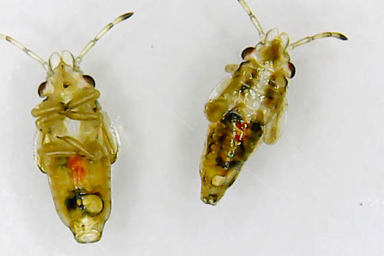 bug nymphs - Thaumastocoris peregrinus