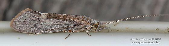Ceraclea sp.  (near C. enodis) - Ceraclea - female