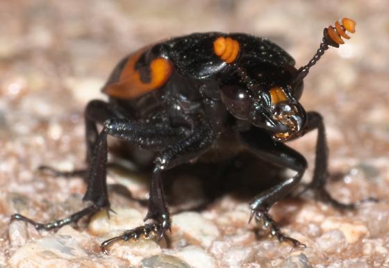 Black and orange beetle - Nicrophorus