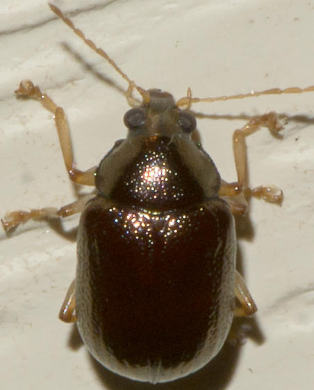 Coleoptera - Rhabdopterus