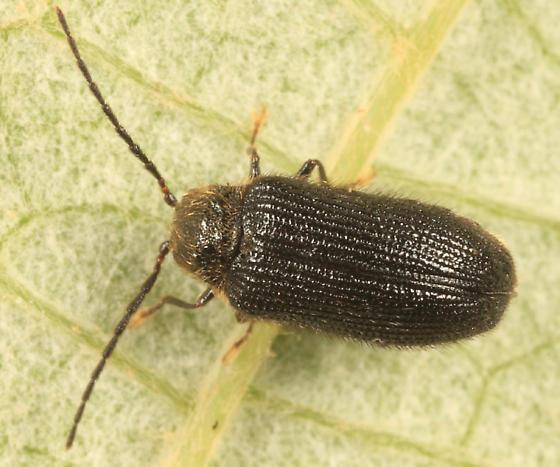 small beetle - Eurypogon niger