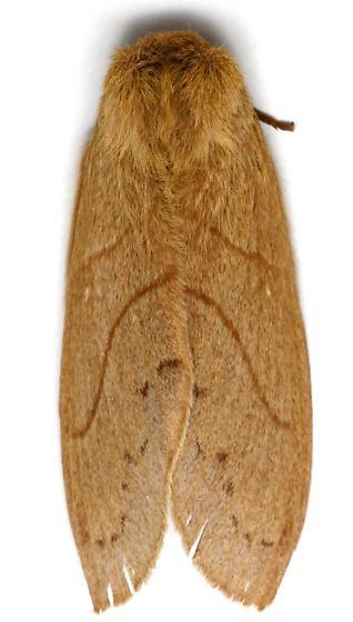 Female, Dicogaster coronada?