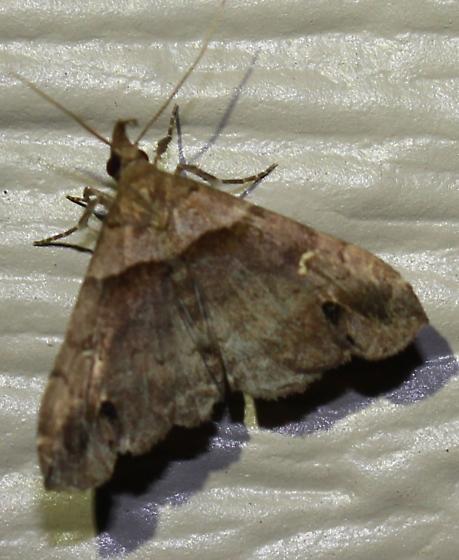 Ambiguous Moth - Hodges#8393 - Lascoria ambigualis