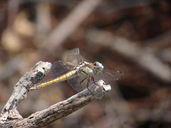 Comanche Skimmer - Libellula comanche - female
