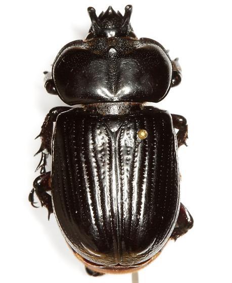 Phileurus truncatus (Palisot de Beauvois) - Phileurus truncatus