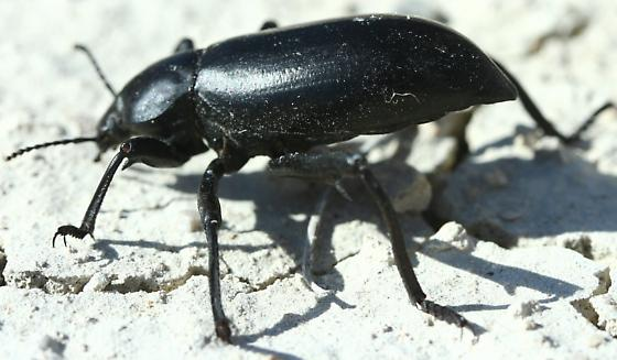 Darkling beetle ID request - Eleodes armata