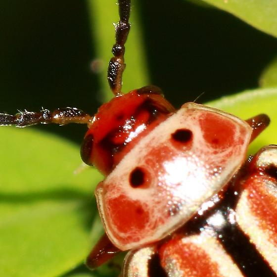 Beetle - Disonycha caroliniana
