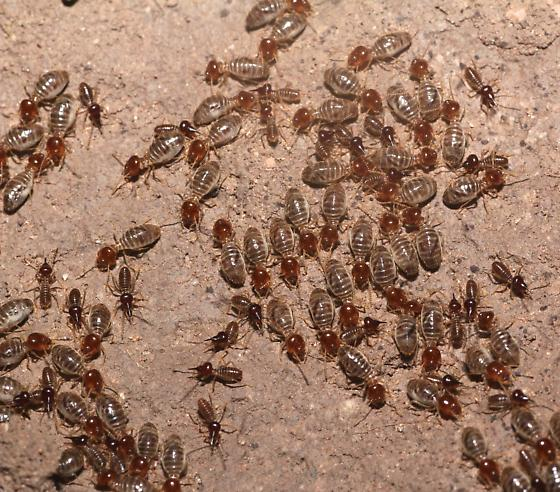 Nasute Termite - Tenuirostritermes tenuirostris