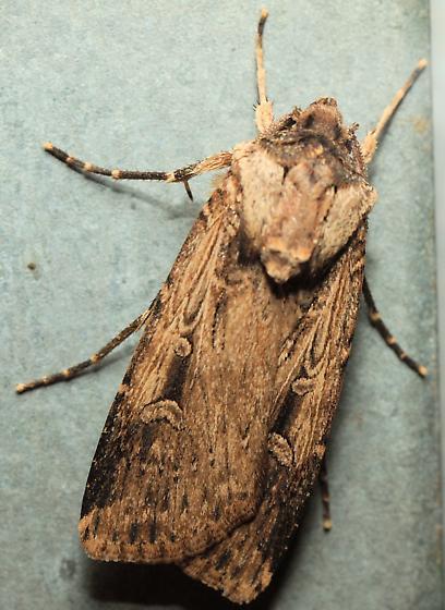 Argotis sp. - Feltia subterranea