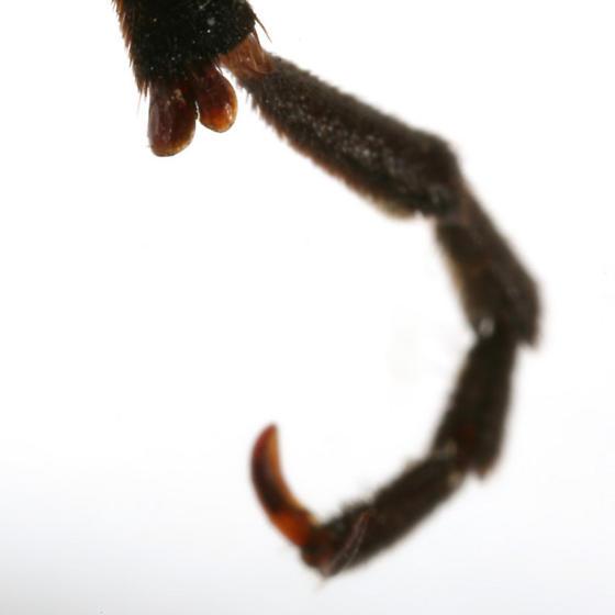 Pyrota perversa Dillon - Pyrota perversa