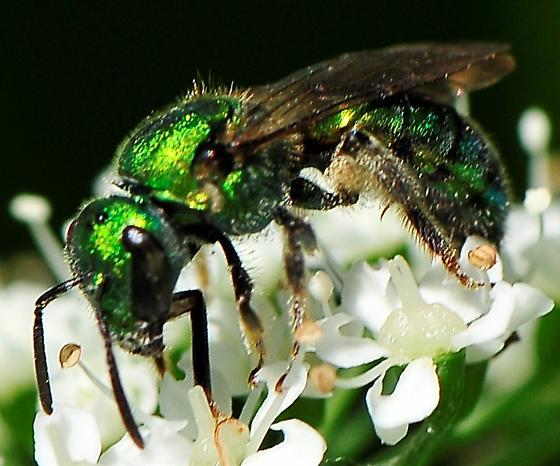 Anthophila (Apoidea) - Bees - Augochlora pura