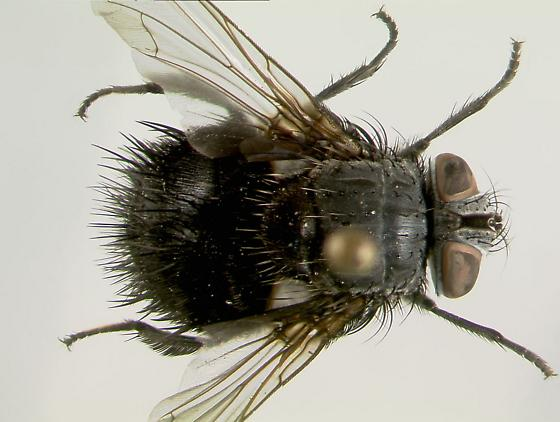 Big Black Hairy Fly (Dorsal view) - Leschenaultia