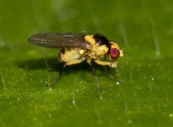 Family Agromyzidae or possibly Chloropidae? - Liriomyza