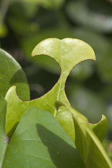 Coco plum - Megachile