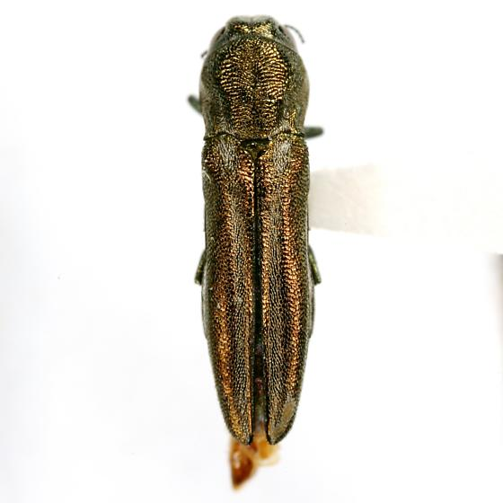 Agrilus falli Fisher - Agrilus falli