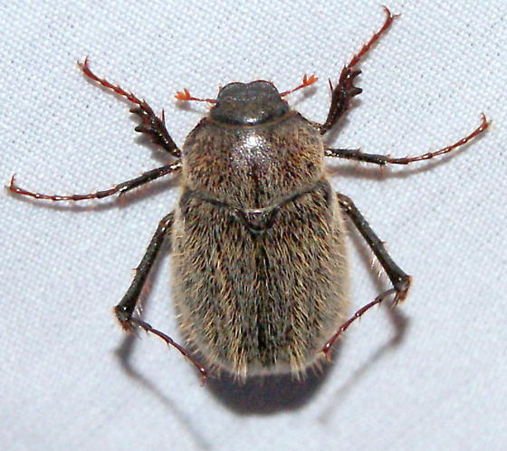 Hairy May beetle - Phyllophaga crenulata