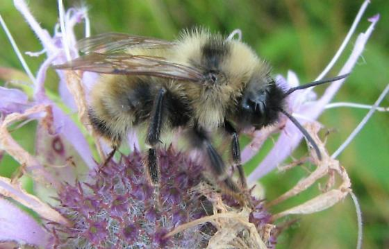 A Bumble Bee on Bergamot - Bombus fernaldae