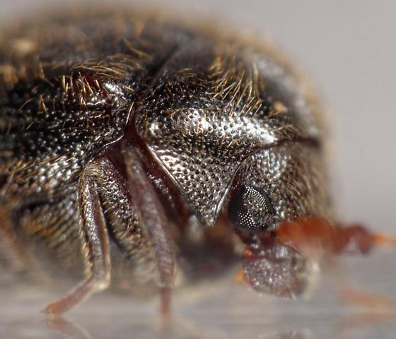 tiny ptinid - Caenocara