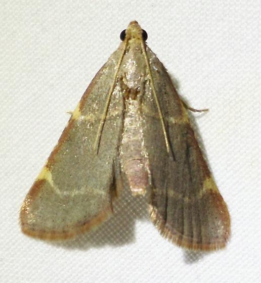 5530 – Hypsopygia binodulalis – Pink-fringed Dolichomia  - Hypsopygia binodulalis