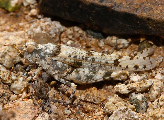 Acrididae 2 - Cibolacris parviceps